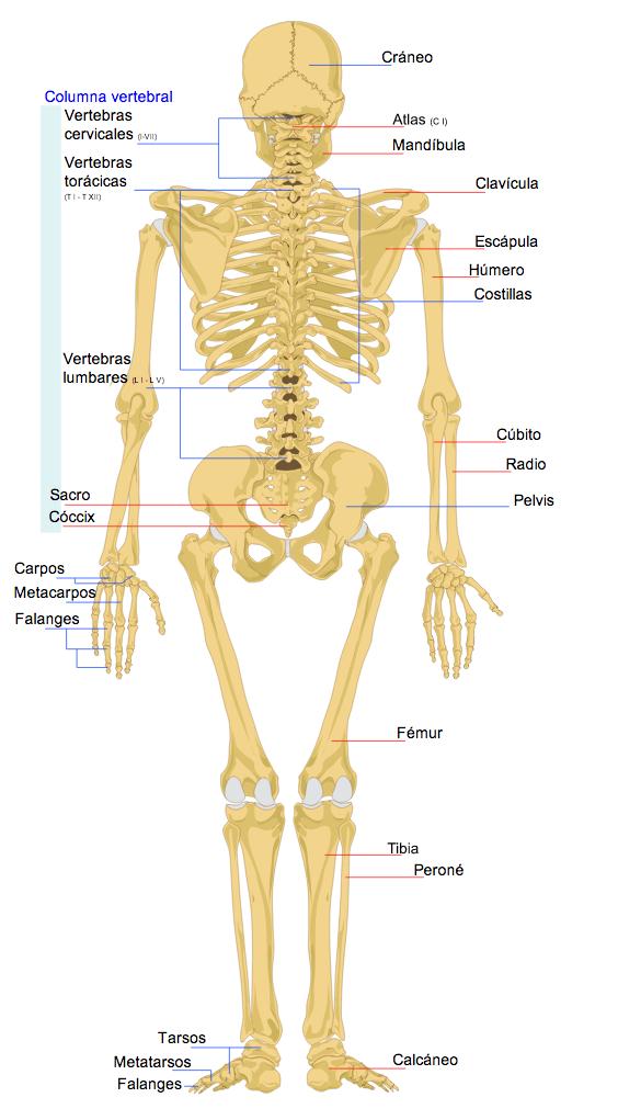 El Esqueleto Humano Wikipekes